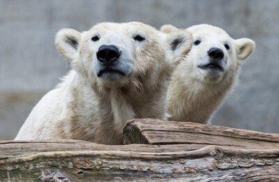 Papiers peints la famille de l'ours polaire