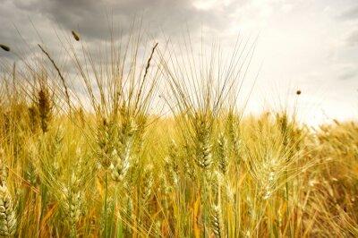 la maturation des épis de champ de blé sur le fond de la su mettre