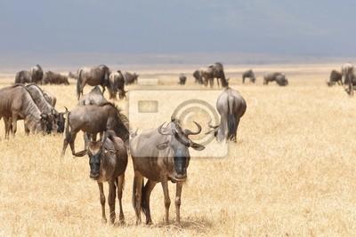 La wildebeesten de Kudde van Gnu dans de Vlakte.