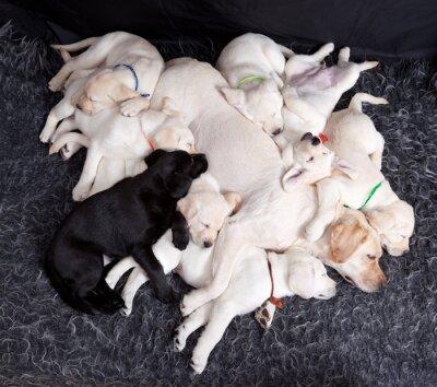 Papiers peints Labrador, puppys, dormir, sien, mère
