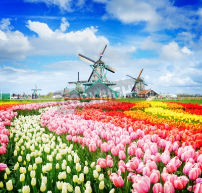 Papiers peints landscape with traditional Dutch windmills of Zaanse Schans and rows of tulips, Netherlands, retro toned