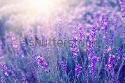 Papiers peints Lavande buissons closeup sur coucher de soleil. Coucher de soleil brille sur les fleurs violettes de lavande. Buissons au centre de l'image et lumière du soleil à gauche. Provence région de france
