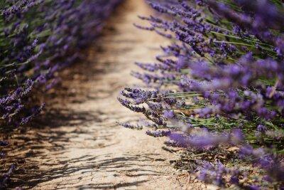 Papiers peints Lavande, fleur, fleurir, Champs, Provence, france