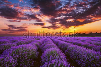 Papiers peints Lavender flower blooming fields in endless rows. Sunset shot.