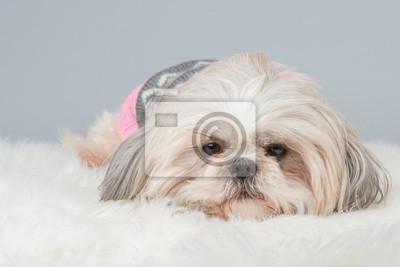 Lazy Dog shih-tzu couchée au fond gris