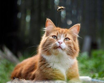 Papiers peints Le chat regarde le vol du bourdon. Chat grand, rouge et moelleux. Conceptuellement - animaux de loisirs en plein air. Cat chasse pour les insectes. Morsures d'insectes et allergies chez les animaux