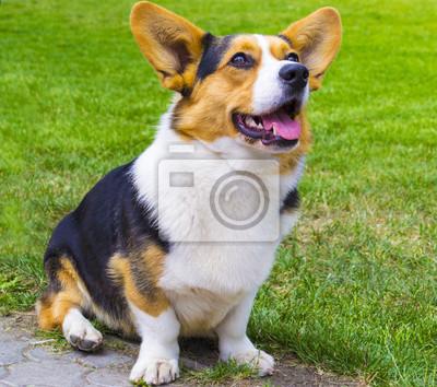 Chien Peint le chien corgi assis sur lherbe. chien corgi. pembroke welsh papier