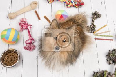 Le chien de berger de Shetland adulte vu d'en haut regardant avec au sol toutes sortes de trucs comme les os, les jouets et les aliments