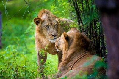 Papiers peints Le lion asiatique très rare dans un parc national en Inde. Ces trésors nationaux sont maintenant protégés, mais en raison de la croissance urbaine, ils ne pourront jamais parcourir l'Inde comme ils l'
