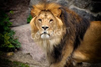 Papiers peints Le lion mâle regarde au sommet d'un affleurement rocheux.