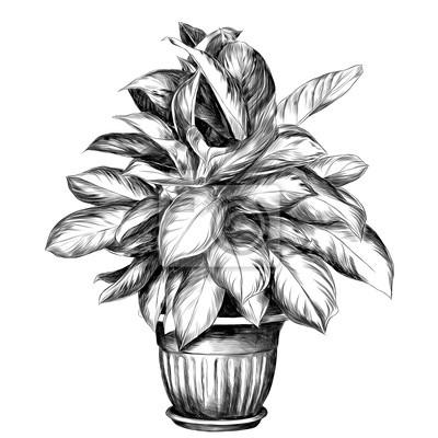 Papiers Peints Le Pot De Fleurs Aglaonema Croquis Vectoriel Graphique Dessin