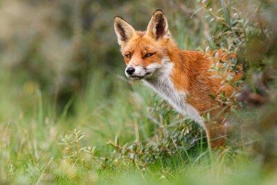 Papiers peints Le renard roux