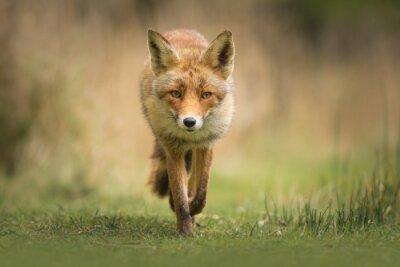 Papiers peints Le renard roux sauvage