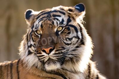 Papiers peints Le tigre de Sumatran (Panthera tigris sumatrae) est une sous-espèce rare de tigre qui habite l'île indonésienne de Sumatra