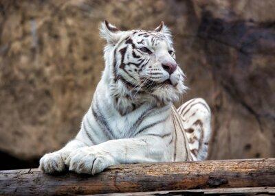 Papiers peints Le tigre du Bengale - une sous-espèce rare, est inclus dans la Liste Rouge de l'UICN