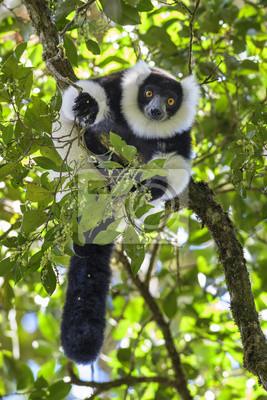 Lemur Huppe Noir Et Blanc Varecia Variegata Madagascar Lemurien