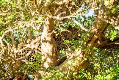 Papiers peints Leopard se cachant dans un arbre