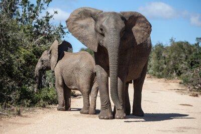Papiers peints Les éléphants d'Afrique dans le parc sud-africain