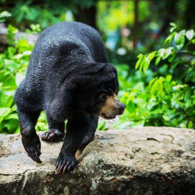 Papiers peints Les ours noirs
