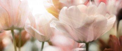 Papiers peints Les tulipes éclairent les rayons du soleil