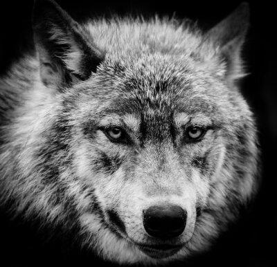 Papiers peints Les yeux du loup, Une tête blanche et noire tirée d'un loup.