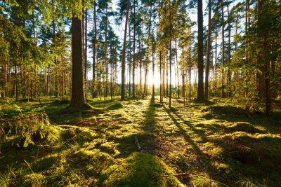 Papiers peints Lever de soleil dans une forêt de pins