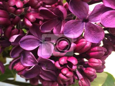 Lilas Jardin Fleurs Floral Saison Floraison Printemps Papier