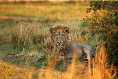 Papiers peints Lion