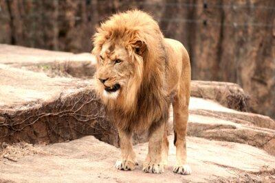 Papiers peints Lion africain