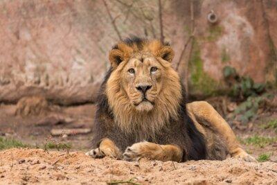 Papiers peints Lion dans le parc