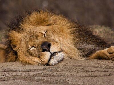 Papiers peints Lion de sommeil