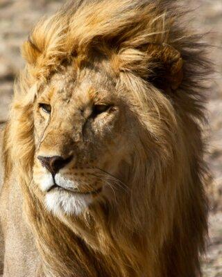 Papiers peints Lion en Afrique