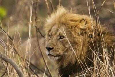 Papiers peints Lion, Kruger, national, Parc