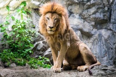 Papiers peints Lion masculin sur la pierre