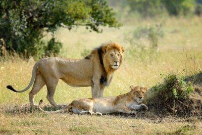 Papiers peints Lion, national, Parc, Kenya, afrique