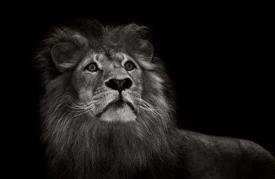 Papiers peints Lion noir et blanc