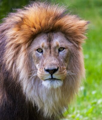 Papiers peints Lion Portrait