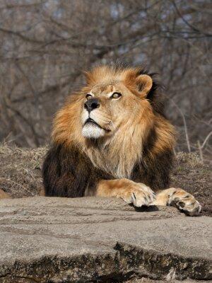 Papiers peints Lion, regarder, ciel