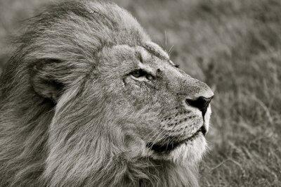 Papiers peints Lion, regarder, dehors, savane