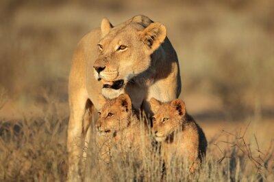 Papiers peints Lionne, jeune, lion, petits, (panthera, leo), tôt, matin, lumière, Kalahari, désert, sud,