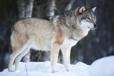 Papiers peints Loup debout dans la forêt d'hiver froid