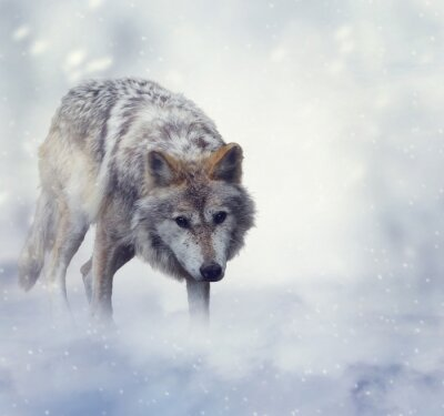 Papiers peints Loup en hiver