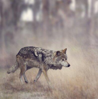 Papiers peints Loup gris (Canis lupus)