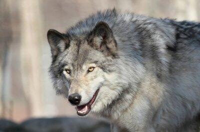 Papiers peints Loup gris d amérique
