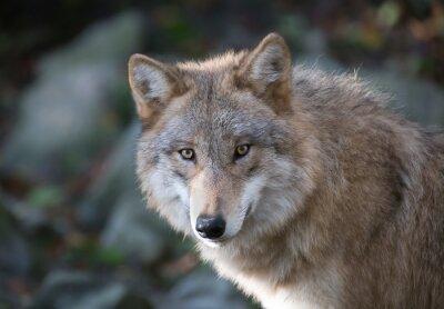 Papiers peints Loup gris Portrait 3