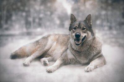 Papiers peints Loup / Heureux de loup sur fond de neige.