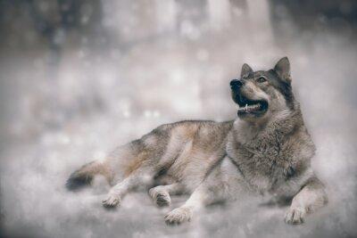Papiers peints Loup / Nice loup sur fond de neige.