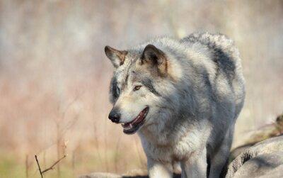Papiers peints Loup sauvage en automne