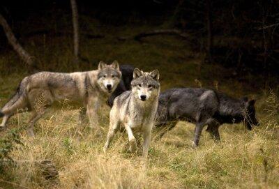 Papiers peints Loups curieux dans le domaine