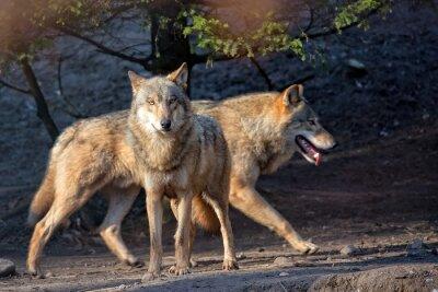 Papiers peints Loups dans la nature
